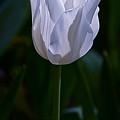 Pure White Petals by Byron Varvarigos