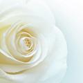 Pure White Rose by Carlos Caetano