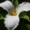 Pure White Trillium by Deborah Benoit