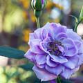 Purple Rose Glow by Jeremy Hill