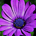 Purple African Daisy by D Hackett