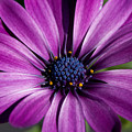 Purple African Daisy by Robert  Torkomian