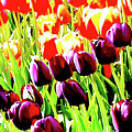 Purple And Peach Tulips 2 by Ken Lerner