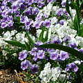 Purple And White by Cynthia Butler