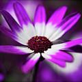 Purple And White Daisy  by Saija  Lehtonen