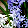 Purple And White Hyacinth by David Lane