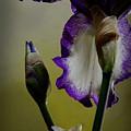 Purple And White Iris Flower by Art Whitton