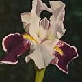 Purple And White Iris by Susan Goodson