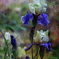 Purple And White Irises 6647 Dp_2 by Steven Ward