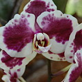 Purple And White Orchid by Linda Benoit