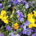 Purple And Yellow Flowers by Rebecca Pavelka