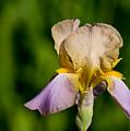Purple And Yellow Iris by Edward Myers
