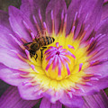Purple And Yellow Lotus With A Bee Textured by Teresa Wilson