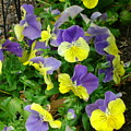 Purple And Yellow Pansies by Cynthia Butler