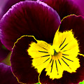 Purple And Yellow Pansy by Amber D Hathaway Photography