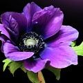 Purple Anemone Flower by Gitpix