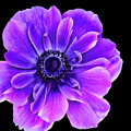 Purple Anemone Flower by Mariola Bitner