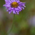 Purple Aster by Angela Patterson