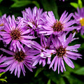 Purple Aster Blooms by John Haldane