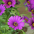 Purple Aster Flowers by A Gurmankin