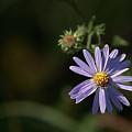 Purple Aster by Grant Groberg