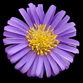 Purple Aster by Neil Doren