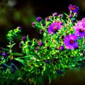 Purple Asters by Susie Weaver