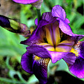 Purple Bearded Iris Ft3025 by Mary Gaines