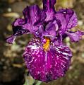 Purple Bearded Iris by Robert Bales