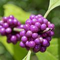 Purple Beautyberries by Kenneth Albin