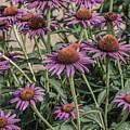 Purple Blooms by Peter Bouman