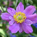 Purple Blossom 1 by Nancy Aurand-Humpf