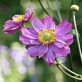 Purple Blossoms 2 by Nancy Aurand-Humpf