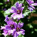 Purple Blossoms by Charlene Cox
