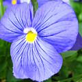 Purple Blue Pansey by Stephanie Forrer-Harbridge
