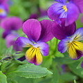 Purple Blue Yellow by Rebecca Mento