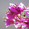 Purple Bougainvillea Flower by Ersoy Basciftci