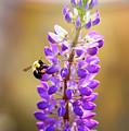 Purple Buzz by Anna Serebryanik