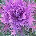 Purple Cabbage Plant by Maro Kentros