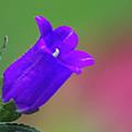 Purple Canterbury Bell by Mark Michel