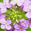 Purple Circle Of Dames Rocket Phlox In Spring Garden by Carol Mellema