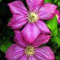 Purple Clematis 2 by William Kuta