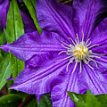 Purple Clematis by Lori Coleman