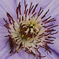 Purple Clematis by Michael Peychich