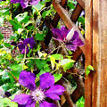 Purple Clematis On Trellis by Susan Savad