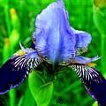 Purple Coated Iris by Marsha Heiken