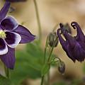 Purple Columbine by Teresa Mucha