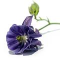 Purple Columbine by Terri Waters