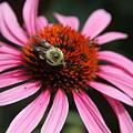 Purple Cone Flower 3 by Rebecca Pavelka