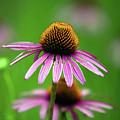 Purple Cone Flower by Alan Look